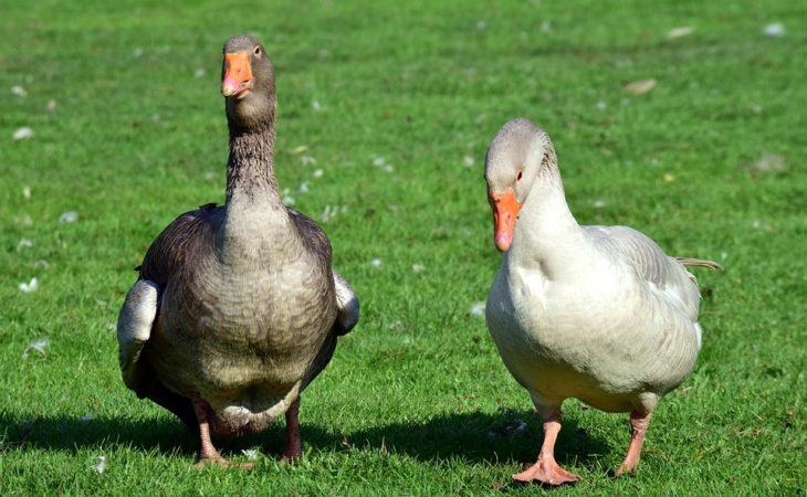 Où trouver des élevages de canards gras dans le Lot ? Image